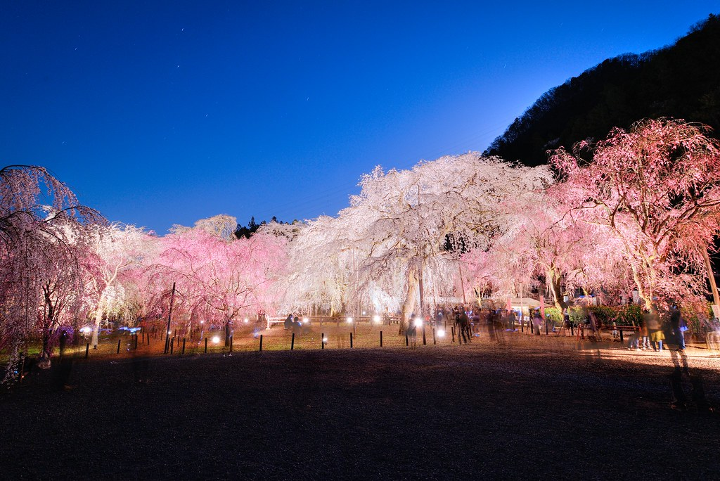 Cherry blossoms at Seiunji Temple