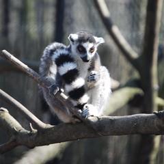 Confessions of a Lemur