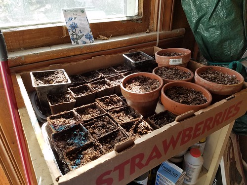 Starting tomatoes, peppers, leeks and borage