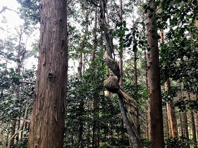 入道ヶ岳 支尾根 巻木