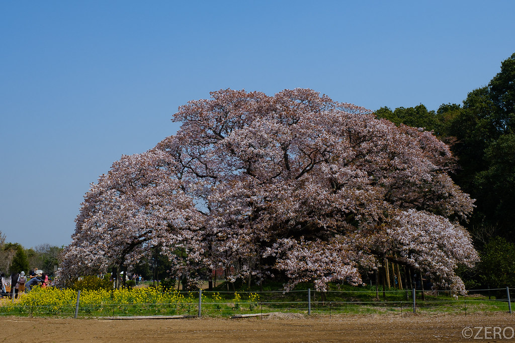 吉高の大桜-0257.jpg