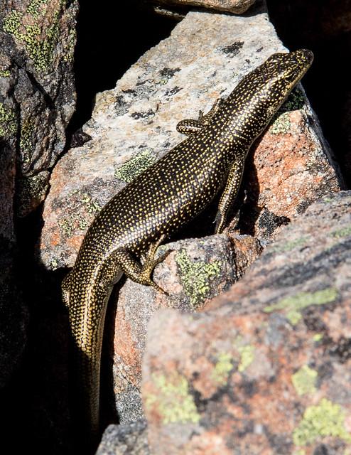 Alpine rock skink (Oligosoma sp.)