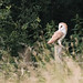 Barn Owl - Woods Mill (55)