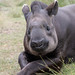 Relaxed Tapir