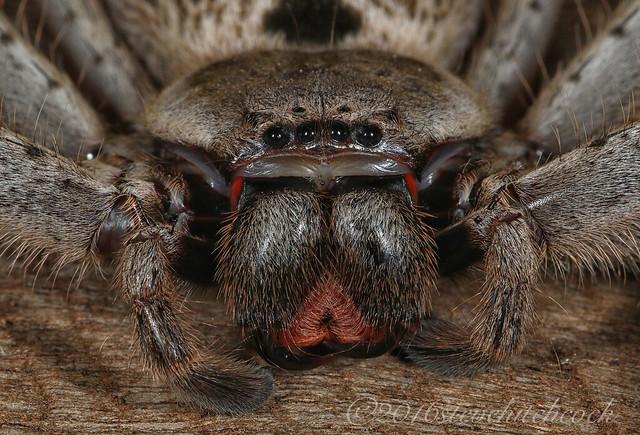 Grey Huntsman Spider, Canon EOS 7D MARK II, Tamron 90mm f/2.8