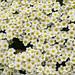 Saxifrage - Saxifraga saxifraga cebennensis