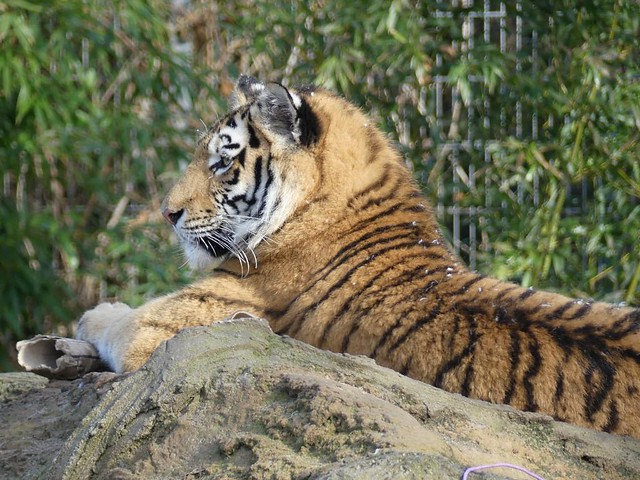 Tiger, Zoo Duisburg