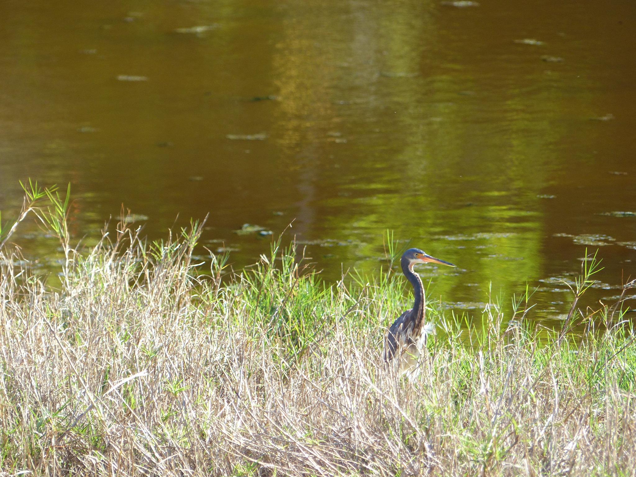 Seymour's Pond Nature Trail heron
