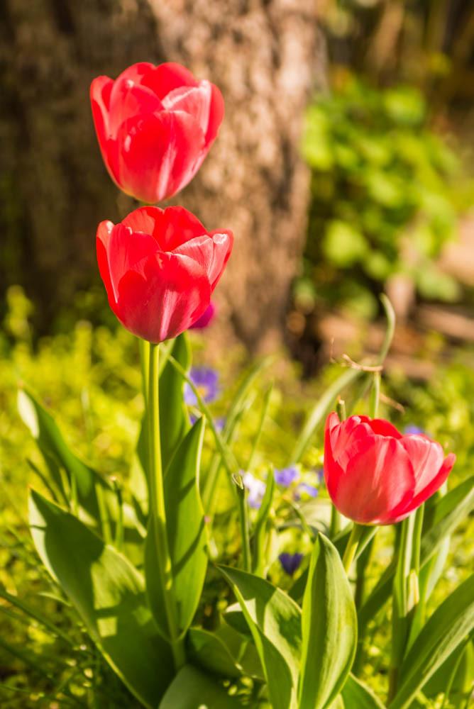 Tulpen_010