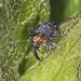 Figwort Weevil - Cionus tuberculosus