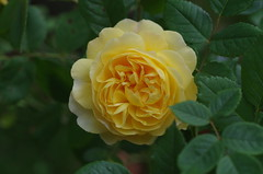 The Poet's Wife rose