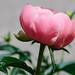 Pink Peony, Woodland, Duluth 6/21/18 #flowers by Sharon Mollerus