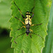 Longhorn Beetle  ---- Rutpela maculata,