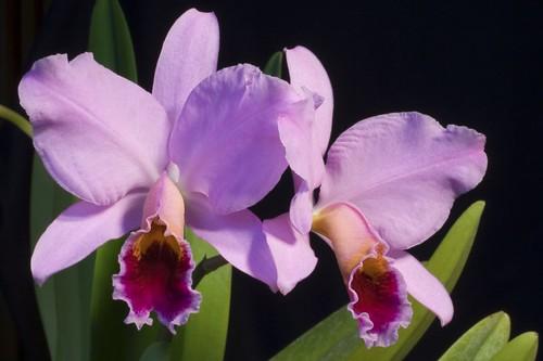 Cattleya species index cattleya source for Orchidea cattleya
