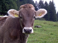 field(0.0), grazing(0.0), ox(0.0), cattle-like mammal(1.0), animal(1.0), mammal(1.0), fauna(1.0), meadow(1.0), cattle(1.0), calf(1.0), pasture(1.0), grassland(1.0),