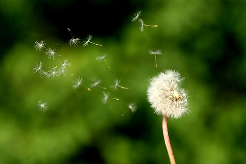 Last Dandelion in Turku