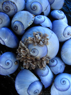 purple sea snails
