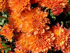 annual plant, dahlia, flower, plant, flora, chrysanths, petal,