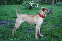 animal sports(0.0), sports(0.0), dog breed(1.0), animal(1.0), broholmer(1.0), dog(1.0), tosa(1.0), pet(1.0), cimarrã³n uruguayo(1.0), black mouth cur(1.0), patterdale terrier(1.0), carnivoran(1.0), boerboel(1.0), terrier(1.0),