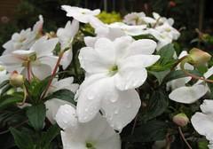 jasmine, shrub, flower, plant, flora,