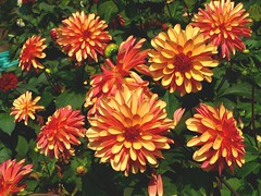 annual plant, dahlia, flower, plant, herb, chrysanths, petal,