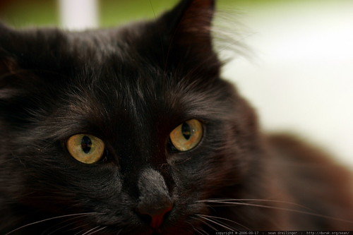 face of count catula, our black cat    MG 1165