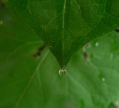 Droplet on Morning Glory leaf