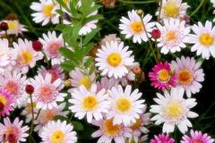 dorotheanthus bellidiformis(0.0), chrysanths(0.0), asterales(1.0), annual plant(1.0), flower(1.0), plant(1.0), marguerite daisy(1.0), daisy(1.0), flora(1.0), oxeye daisy(1.0), daisy(1.0), petal(1.0),