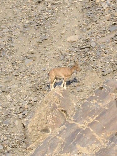 Markhor, Chitral Gol National Park (1)