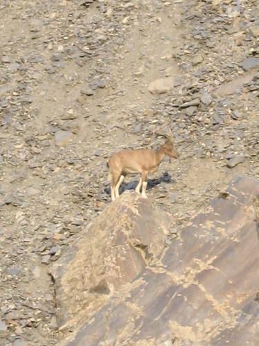 Markhor, Chitral Gol National Park (1)