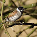 Reed Bunting - Photo (c) Gidzy, some rights reserved (CC BY)