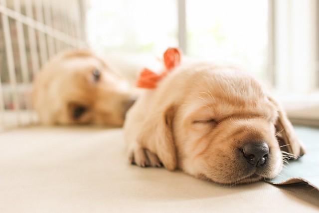 甘噛みをしてしまう子犬の寝ている姿
