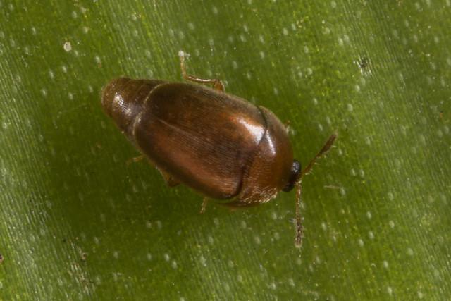 Minute Fungus Beetle