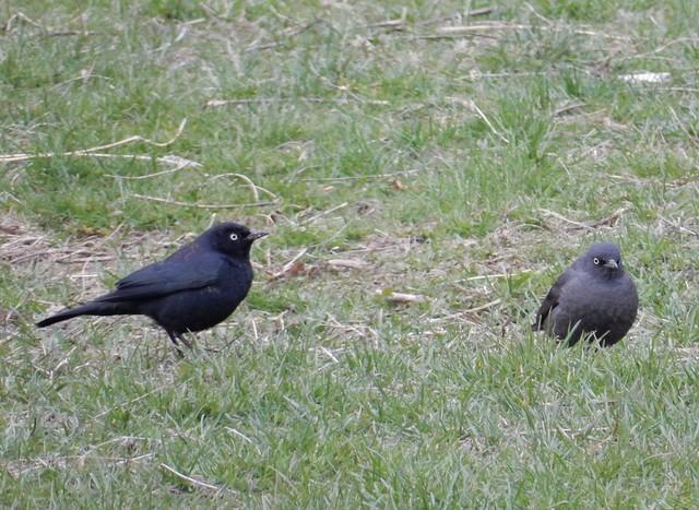 Rusty Blackbirds Prospect Park