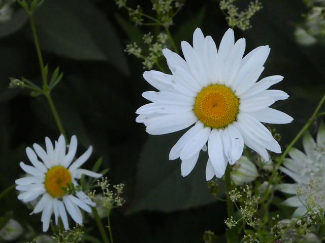 Ox-eye daisies, Panasonic DMC-TZ80