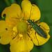 Swollen-thighed Beetle - Oedemera nobilis (female)