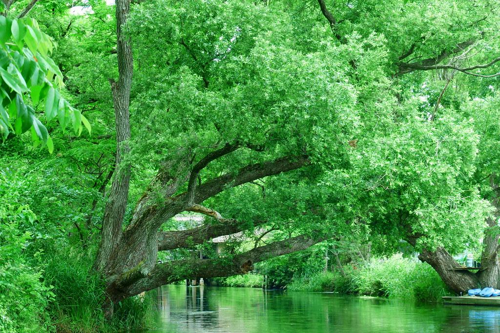 信州安曇野大王わさび農場の蓼川にある吉田拓郎のCDジャケットの裏表紙に使われたコゴメヤナギの木