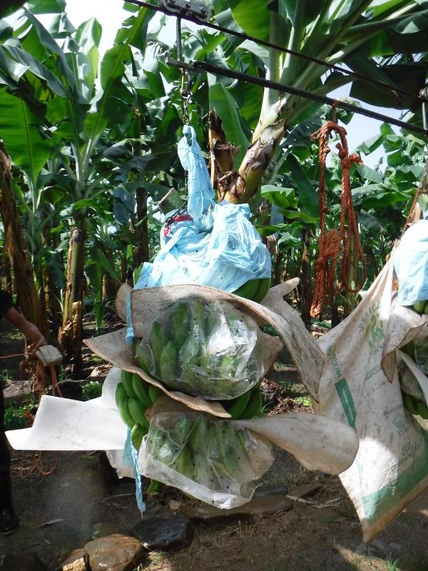 Banana Harvest 2