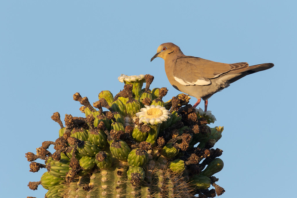 A white-winged dove perches atop a saguaro cactus, it's face covered in pollen