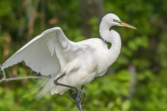 Great Egret (Arda alba)