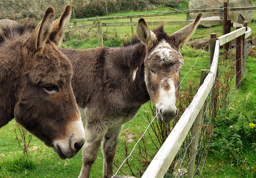 Donkeys at the Famine Houses on the Dingle Peninsula in Ireland