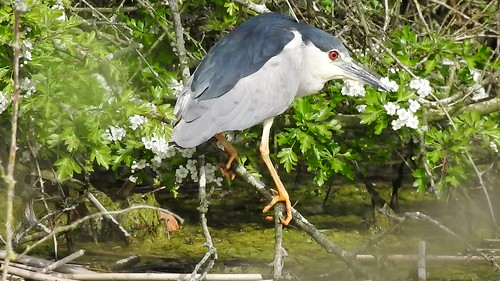 Black-crowned Night Heron (Nycticorax nycticorax) Adare Co.Limerick 1-5-17 . . VIDEO