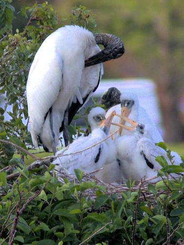 Wood Stork FOUR nestlings 02-20180411