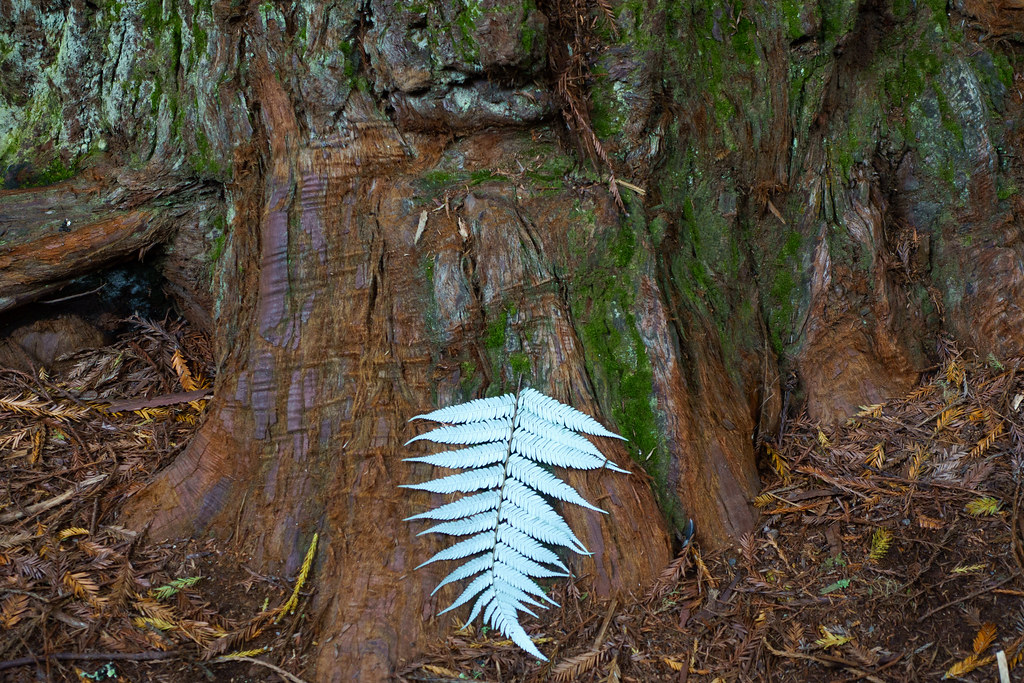 Redwoods-03824