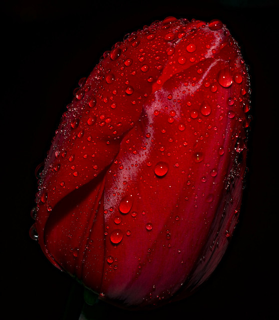 Red Tulip in a Spring Rain