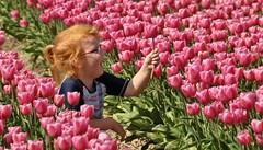 Tulpen & Bollenvelden