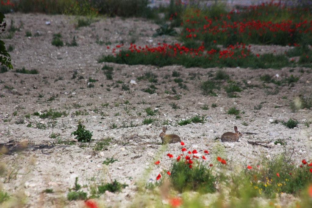 dos conejos de un disparo y después siguieron vivos y sanos