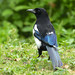 Eurasian Magpie --- Pica pica