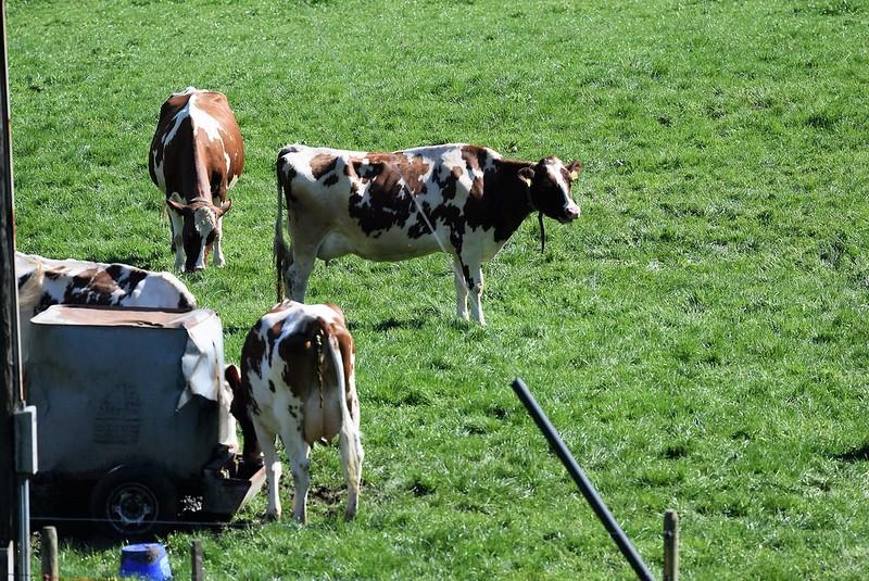 Cows 12.04 (3)