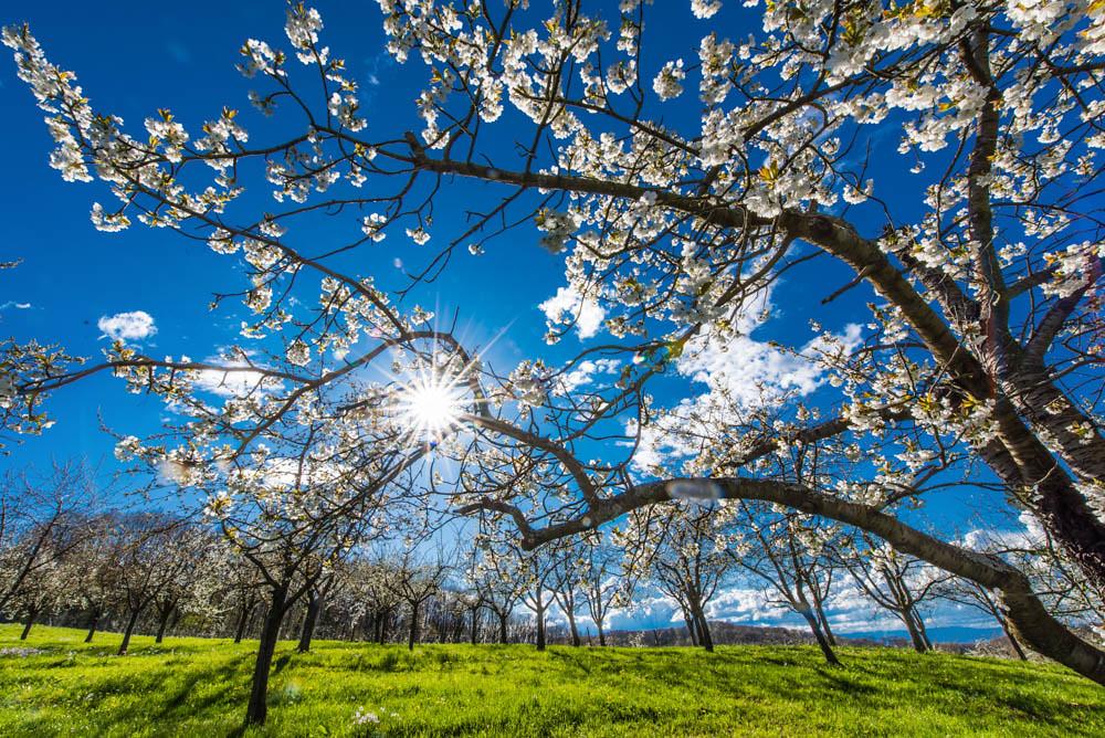 Kirschblüte_Eggenertal_012